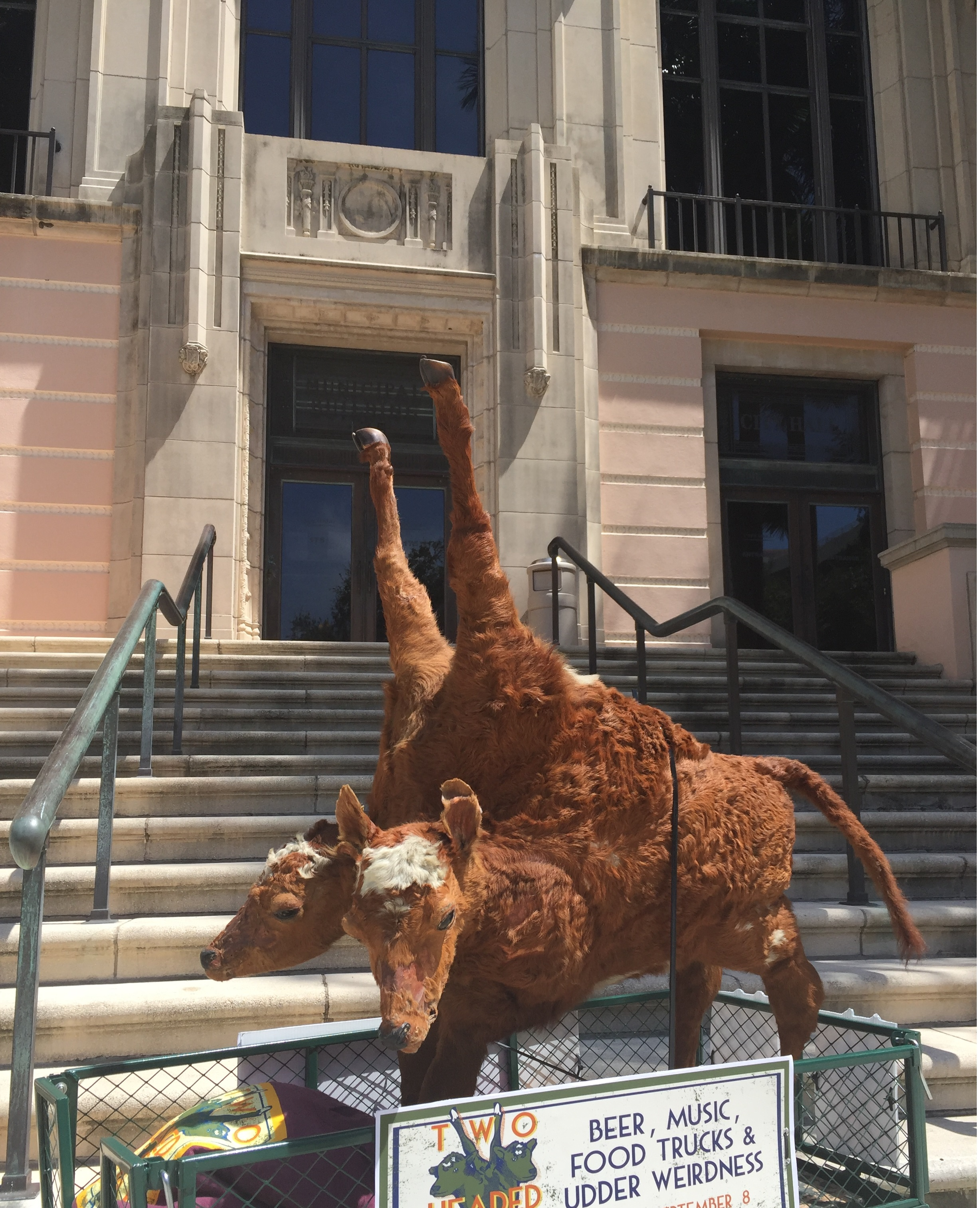 The two-headed calf makes a stop at City Hall. Photo courtesy of the St. Petersburg Museum of History.