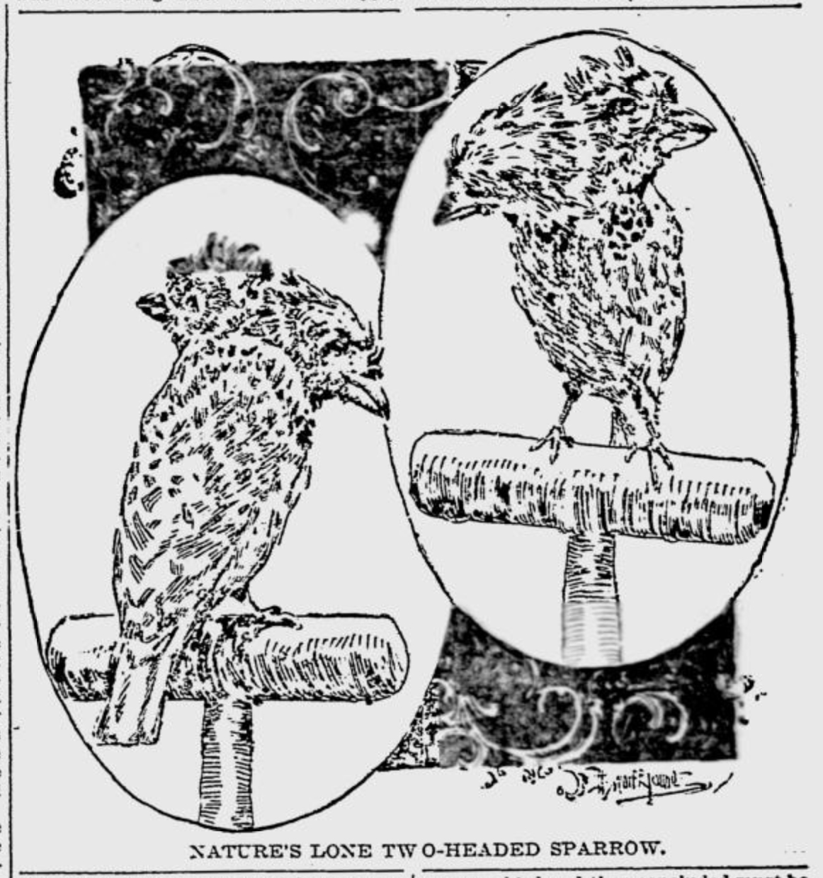 A two-headed sparrow, as seen in the Baltimore Sunday Herald, Jan. 9, 1898.